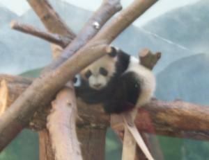 Random Baby Panda.  Who doesn't love a random baby panda?
